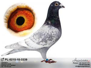 Linia Gołębi Dalekodystansowych Opal